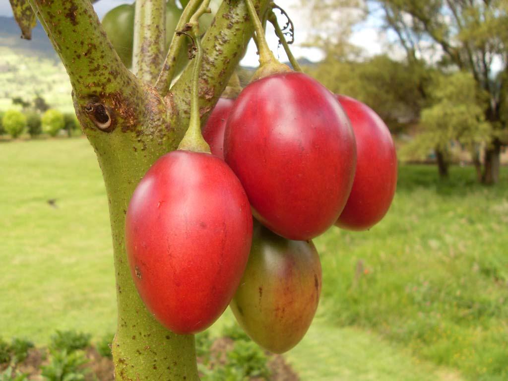 lima fruit guanabana fruit for sale